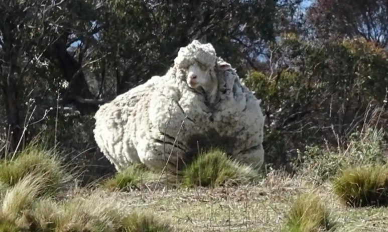 World famous sheep known for its record-breaking wool dies