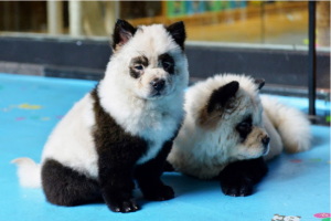 Cafe in China gets backlash for dyeing dogs to look like pandas