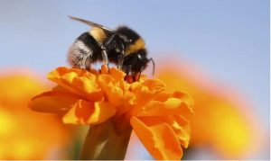 Bumblebees might be the next victims of mass extinction