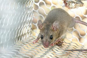 Rat Plague in Sydney